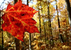 Happy Fall Y'all (melissa_dawn) Tags: autumn trees red tree fall leave leaves gold kentucky ky pinemountain happyfallyall