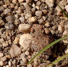 I used to be a tadpole (jimsc) Tags: arizona animal fauna desert tucson critter wildlife amphibian toad creature sonorandesert redspotted pimacounty toadling extadpole