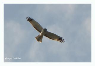 Busard St-Martin - Northern Harrier - Circus cyaneus