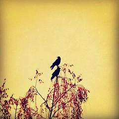 We Two IV (liquidnight) Tags: camera autumn red two tree fall leaves birds animals oregon portland backyard nikon wildlife pair birding silhouettes foliage together urbanwildlife perch pdx laurelhurst crows birdwatching corvid treetop d90 instagram