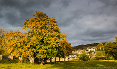 Tree displaying fall colors next to a bridge and small village (WhitcombeRD) Tags: bridge autumn sky terrain brown plant abstract green fall nature colors field grass leaves weather yellow southwales wales clouds rural river dark season landscape outdoors grey countryside town nationalpark maple oak colorful warm village cloudy unitedkingdom farm branches grow scenic stormy farmland breconbeacons single backgrounds fields ash environment sunlit climate autumnal greysky darksky crickhowell llangattock