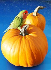 Pumpkin Spice! (bigbrowneyez) Tags: blue stilllife orange pet cute bird nature beautiful vegetables fun interesting bright sweet pumpkins creative feathers adorable tasty delicious cutiepie edible contrasts colouful complimentary pumpkinspice flickrspecial lovebid
