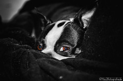 Eyes of a Boston Terrier 01.11.2012