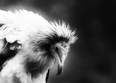Egyptian vulture (Neophron percnopterus) (jesseA ~ photography and art) Tags: blackandwhite france bird monochrome birds wings birding feathers aves raptor egyptian vulture avian scavenger oldworld geier neophron percnopterus falconiformes neophronpercnopterus egyptianvulture schmutzgeier egayptianvulture