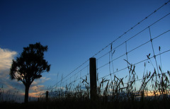 Blue Hour, Taiko (AllisonwonderlandNZ) Tags: blue sunset newzealand sky silhouette fence evening sundown south icon canterbury nz barbedwire grasses taiko bluehour cabbagetree iconic aotearoa fenceline kiwiana cordyline