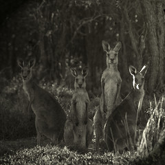 roos in the gidgee scrub (Fat Burns) Tags: kangaroo roo australianwildlife australiananimal easterngreykangaroo rememberthatmomentlevel4 rememberthatmomentlevel1 rememberthatmomentlevel2 rememberthatmomentlevel3