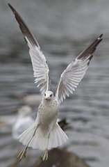 The Matrix (HOWLD) Tags: seagulls canon thematrix howd oaklandlake 135mmf2 oaklandgardens 5dmiii howardlaudesign