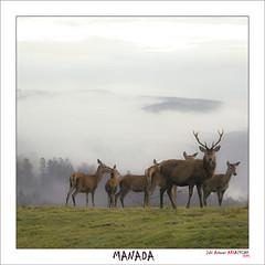 Manada de ciervos (Jabi Artaraz) Tags: mist fog sony amanecer zb monte bizkaia niebla euskalherria basquecountry paysbasque bruma ciervos amorebieta euskoflickr jartaraz alfa350