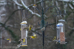 Birds going in all directions! (devonteg) Tags: garden nikon january feeder peanuts starling directions housesparrow nuthatch greenfinch bluetit greattit chaffinch odc siskin longtailedtit gardenbirds coaltit 2013 nygerseed goldfich snowingagain 70300mm4556vr sunflowerhearts d7000 ourdailychallenge