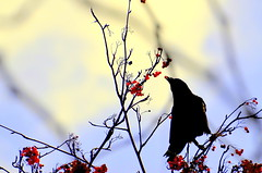 Blackbird (treehuggerdcg) Tags: red black bird silhouette nikon berries telephoto raven blackbird mountainash hss thursdaywalk utatafeature utata:description=hide beatlessongtitle d7000 giveusyourbestshot 113in2013 522013week4 utata:project=tw353