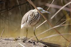 indian pond heron (robertmilesdesign) Tags: india wildlife wildbirds ranthambhorenationalpark