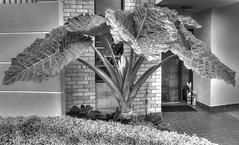 Oreja de elefante (Alocasia macrorrhiza) (Jos M. Arboleda) Tags: bw white plant black planta hoja leave blanco canon eos grande jose negro large bn 5d hdr elefante alocasia oreja arboleda markiii ef24105mmf4lisusm macrorrhiza josmarboledac