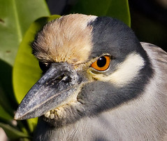 Yellow-Crowned Night Heron Closeup (PictureOnTheWall) Tags: heron florida yellowcrownednightheron nyctanassaviolacea dingdarlingnwr photoofthedaynwf12
