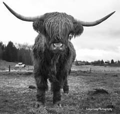 LPTG13WK6_Down (Sonya Lang Photography) Tags: cow farm horns highland lptg13wk6