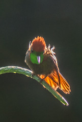 Tufted Coquette - Male - 1833 (Len Blumin) Tags: male hummingbird trinidad tuftedcoquette lophornisornatus