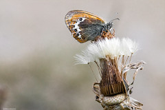 Coenonympha gardetta (Marco Ottaviani in the mountains with little acces) Tags: natura nature insetti insects farfalle butterflies nymphalidae coenonympha cgardetta alpi alps ninfaalpina alpineheath canon marcoottaviani