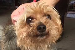 Twinkle (MerlinAnimalRescue) Tags: rescue dog yorkie animal wales yorkshire north terrier merlin