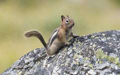 GMGS Chapaaqn 2016 dm (chjsbny) Tags: goldenmantledgroundsquirrel callospermophiluslateralis chapaaqn summer charlesjanson digimarc