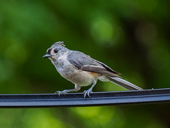 Tufted Titmouse (Joey Hinton) Tags: olympus omd em1 40150mm f28 birds nashville tennessee mft m43 microfourthirds tufted titmouse