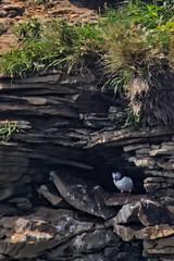 Puffin Hiding (creditflats) Tags: puffin ocean island cave atlantic novascotia capebreton canada englishtown cabotstrait bird nature