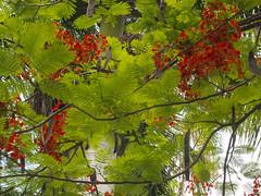 Framboyan IMG_4592 (fernandodelatorre46) Tags: framboyn mxico mexico vistahermosa estadodemorelos delonixregia
