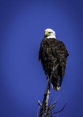 Bald Eagle-0397 (peter57117) Tags: eagle baldeagle bird birds raptor birdsofprey haliaeetusleucocephalus