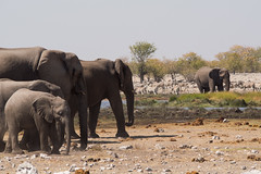 Teeming with mammals (abbobbotho) Tags: etosha namibia