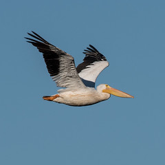 American White Pelican (Pelecanus erythrorhynchos) (mesquakie8) Tags: bird pelican flyingthroughthemarsharea adult americanwhitepelican pelecanuserythrorhynchos awpe horiconmarshnationalwildliferefuge dodgecounty wisconsin 9028 horicon nwr
