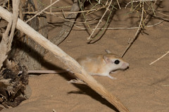 gerbil (RonW's Nature Photography) Tags: gerbil mammal wildlife nature judean desert dead sea israel canon