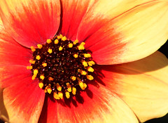I believe... (Steven H Scott) Tags: flower close up macro petals outdoor bright organic nature plant yellow red