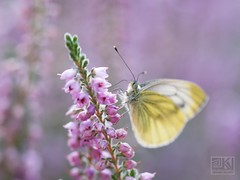 Butterfly (Overtherainbow changes to KV Photography) Tags: priroda macro nature kvphotography butterfly heather white puple