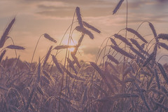 In the wheat field.. (Edita Ruzgas. Thanks for your visit.) Tags: edita ruzgas nikon d7200 wheat field summer sunset pastel colors colours cloudy clouds sky supershot