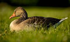 Close My Eyes (Anna Kwa) Tags: duck bird portrait light annakwa nikon d750 afsnikkor70200mmf28gedvrii my closemyeyes always sun rain love see heart soul throughmylens face burn memories mind remembrance thesouls
