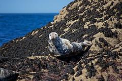 IMG_4448_edited-1 (Lofty1965) Tags: islesofscilly ios seal