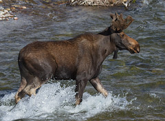 IMG_8769 Bull Moose (cmsheehyjr) Tags: nature wildlife moose bullmoose grandtetonnationalpark alcesalces jacksonhole antelopeflats cmsheehy colemansheehy grosventre