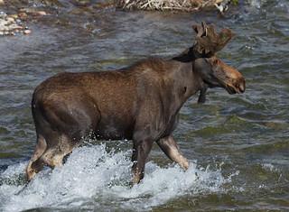 IMG_8769 Bull Moose