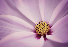 Cosmos stars - EXPLORED (Charlotte G Photography) Tags: macromonday cosmos stars flower macro colours pink lines shapes detail inexplore explored