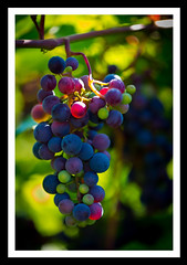On the grapevine II (derek_michalski) Tags: colour grapevine grapes summer nikon d800 fav