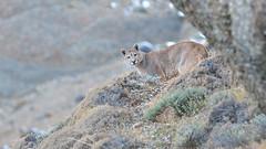 Puma concolor puma IV (impodi@gmail.com) Tags: oumaconcolorpuma puma mamiferos torresdelpaine chile patagonia wildlife fauna explore