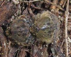 Bumble Flower Beetle, Euphoria inda, Kakiat County Park, Montebello, NY (Seth Ausubel) Tags: coleoptera scarabaeidae