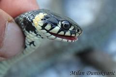 bjelouka, umberak (mdunisk) Tags: bjelouka natrixnatrix neotrovna zmija gu profil glava mdunisk kravljak umberak umberakogorje parkprirodezumberackosamoborskogorje poklek selce stojdraga samobor zmije had seerpent