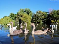 Mute Swan cygnets (Cygnus olor) (Jeff G Photo - 2m+ views! - jeffgphoto@outlook.com) Tags: muteswans muteswan swans swa cygnet cygnets stjamesspark park lake water birds bird