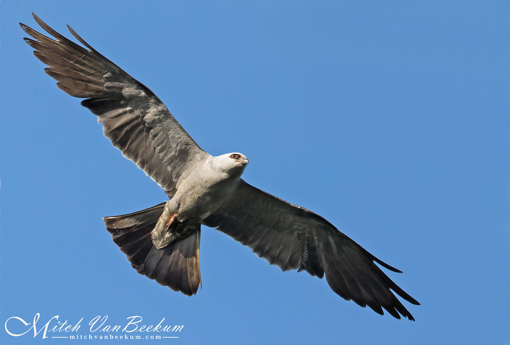 Go Fly A Kite! (Mississippi Kite - Waretown, NJ)