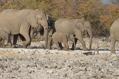 Namibia 2016 (347 of 486) (Joanne Goldby) Tags: africa africanelephant august2016 elephant elephants etosha etoshanationalpark explore loxodonta namiblodgesafari namibia safari
