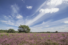 Incredible clouds above the purple heather (Jessie van Weert) Tags: wideangle wonderful warm wide wolken explore extreme extreem dynamic mysterious dynamisch sky day uitzicht outdoor outside sun sunshine lucht summer purple interesting impressive incredible nikon d3100 nice light photography plant paars adorable atmosphere sigma staatsbosbeheer struikheide depthoffield depth dof flickr fotografie fabulous field gorgeous groothoek holland heide hei heather landscape landschap licht zon zomer clouds cloudy view veld beautiful brabant bijzonder blue bewolkt bloei blooming netherlands nature ngc natuur natuurgebied natuurmonumenten magical