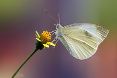 Cabbage White Butterfly (Pieris rapae) (Douglas Heusser) Tags: pieris rapae cabbage white butterfly insect arthropod canon macro photography tamron 90mm lens nature wildlife photo up close lepidoptery