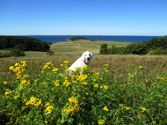 A beautiful view (and of course Ditte making the picture perfect!) (Ingrid0804) Tags: rsns denmark summer beautifulview sea bluesky yellowflowers goldenretriever happy lovelysummerday happysmile aperfectsummerday lifeisgood