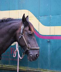 2016 Kastelentocht (Steenvoorde Leen - 1.9 ml views) Tags: carriage coach landau doorn 2016 utrechtseheuvelrug kastelentocht beukenrode landgoed jachthuisbeukenrode paarden pferde horse horses aanspanning koetsen kutsche vierspan cheval coche carosse armement