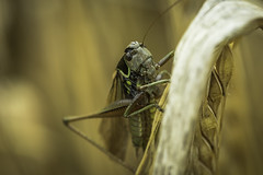 Another Hoppa.. (Musical Chillies) Tags: grasshopper nature macro handheldmacro canon canon80d nocrop