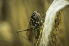 Roesel`s Bush Cricket (Stuie JW) Tags: grasshopper nature macro handheldmacro canon canon80d nocrop